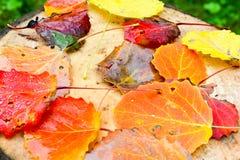 Hojas coloridas del álamo temblón Foto de archivo