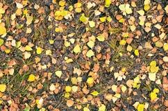 Hojas coloridas del abedul del otoño en la hierba Foto de archivo libre de regalías