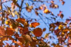 Hojas coloridas del otoño en Corfú Grecia Imágenes de archivo libres de regalías