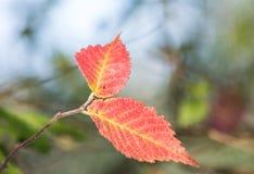 Hojas coloridas del otoño en Corfú Grecia Fotos de archivo