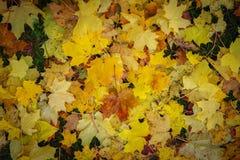 Hojas coloridas del otoño que caen abajo en la hierba Fotografía de archivo