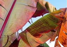 Hojas coloridas del plátano Imagen de archivo libre de regalías