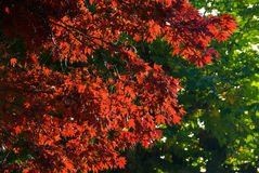 Hojas coloridas del rojo en árbol imagen de archivo
