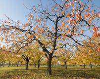 Hojas coloridas en cerezos en huerta de cereza del otoño cerca del odijk en la provincia de Utrecht en los Países Bajos imagen de archivo libre de regalías