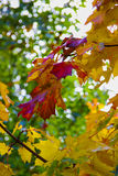 Hojas coloridas en el árbol Foto de archivo libre de regalías