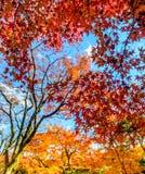 Hojas coloridas en la estación del otoño en Japón Foto de archivo libre de regalías