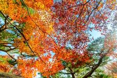 Hojas coloridas en la estación del otoño en Japón Foto de archivo