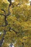 Hojas coloridas hermosas de Autumn Leaves, amarillas y verdes imagenes de archivo