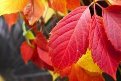 Hojas coloridas rojas del árbol del otoño Foto de archivo