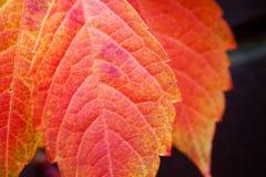 Hojas coloridas rojas del árbol del otoño Fotos de archivo