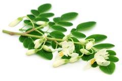 Hojas comestibles de Moringa con la flor Foto de archivo