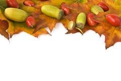 Hojas con los escaramujos con las bellotas. Fotos de archivo