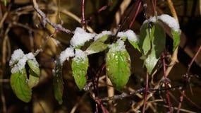 Hojas con una polvoreda de la nieve en ellos en la noche Imágenes de archivo libres de regalías
