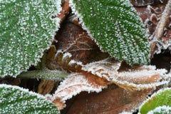 Hojas congeladas Fotografía de archivo