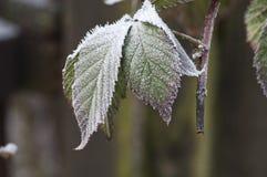 Hojas congeladas Imagen de archivo