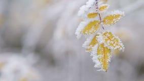Hojas congeladas arbusto amarillo en día de invierno almacen de metraje de vídeo