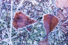 Hojas congeladas del abedul Foto de archivo libre de regalías