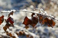 Hojas congeladas del abedul en una mañana del invierno Imagenes de archivo