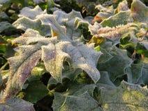 Hojas congeladas del acebo en el sol Foto de archivo libre de regalías