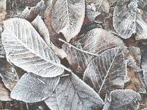 Hojas congeladas en invierno Fotografía de archivo libre de regalías