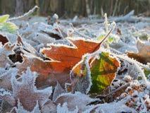 Hojas congeladas en la luz del sol Fotografía de archivo libre de regalías