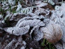 Hojas congeladas en nieve Foto de archivo libre de regalías