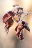 Hojas congeladas rojas Fotografía de archivo libre de regalías