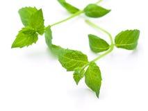 Hojas cosechadas frescas de la menta verde aisladas en blanco Imagen de archivo