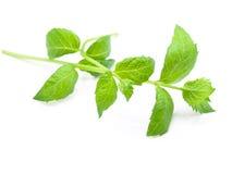 Hojas cosechadas frescas de la menta verde aisladas en blanco Imagen de archivo libre de regalías