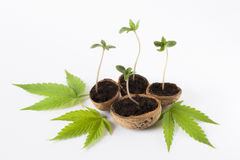 Hojas crecientes del verde de la planta de la marijuana imagen de archivo libre de regalías
