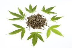 Hojas crudas del verde de la semilla del marijunana del cáñamo Imagen de archivo libre de regalías