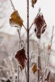 Hojas cubiertas con escarcha y nieve Imagenes de archivo