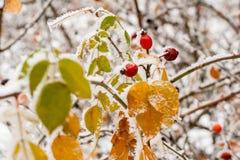 Hojas cubiertas con escarcha y nieve Fotos de archivo