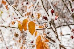 Hojas cubiertas con escarcha y nieve Fotografía de archivo