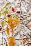 Hojas cubiertas con escarcha y nieve Foto de archivo