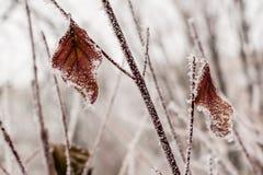 Hojas cubiertas con escarcha y nieve Fotografía de archivo libre de regalías