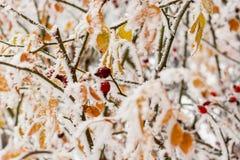Hojas cubiertas con escarcha y nieve Imágenes de archivo libres de regalías