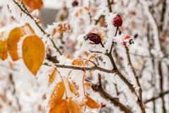 Hojas cubiertas con escarcha y nieve Imagen de archivo