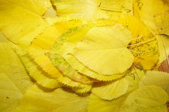 Hojas de amontonamiento amarillas Foto de archivo libre de regalías