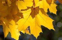 Hojas de arce amarillas Foto de archivo