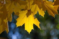 Hojas de arce amarillas Imagenes de archivo