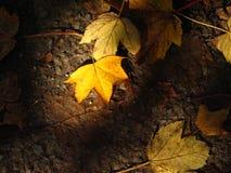 Hojas de arce amarillas Fotos de archivo libres de regalías