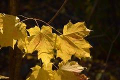 Hojas de arce amarillas Fotografía de archivo libre de regalías