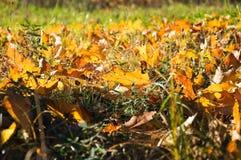 Hojas de arce amarillas caidas en el primer de la hierba Imagen de archivo libre de regalías