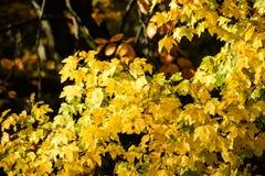 Hojas de arce amarillas coloridas en otoño Fotos de archivo