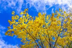 Hojas de arce amarillas contra el cielo nublado azul Fotografía de archivo