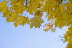 Hojas de arce amarillas de la caída contra el cielo azul Fotos de archivo libres de regalías