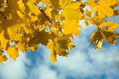 Hojas de arce amarillas del otoño Fotos de archivo libres de regalías