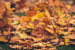 Hojas de arce amarillas del otoño en hierba verde Fondo borroso del viento Imágenes de archivo libres de regalías