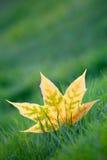 Hojas de arce amarillas en hierba verde Imagen de archivo libre de regalías